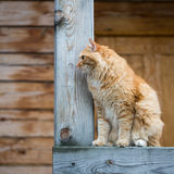 Beautiful red cat looking into the distance Royalty Free Stock Photos