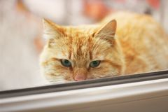 Beautiful red cat looks into the camera. Cat on the window.  royalty free stock image