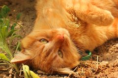 Beautiful red cat lying on the street. Cat close up.  royalty free stock photos