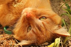 Beautiful red cat lying on the street. Cat close up.  royalty free stock image