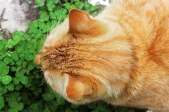 Beautiful red cat outside in the grass.  royalty free stock images