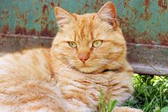 Beautiful red cat outside in the grass.  royalty free stock image