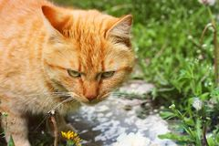 Beautiful red cat outside in the grass.  royalty free stock photos