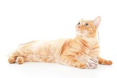 Beautiful red cat plays Royalty Free Stock Photos