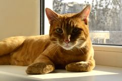 Beautiful red cat is resting on the window
