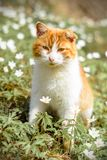Beautiful red cat rests in wild spring flowers anemones royalty free stock image