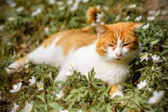 Beautiful red cat rests in wild spring flowers anemones. 2018 Stock Photo