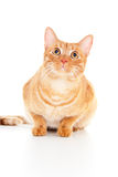 Beautiful red cat sits  Royalty Free Stock Photo