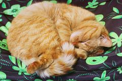 Beautiful red cat sleeping on the couch.  royalty free stock image