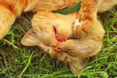 Beautiful red cat sleeping on the grass.  royalty free stock images