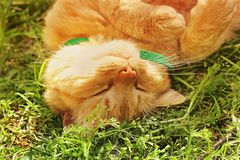 Beautiful red cat sleeping on the grass.  royalty free stock photos