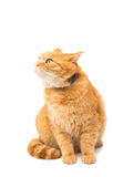 Beautiful red cat Stock Images