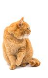 Beautiful red cat Stock Photo