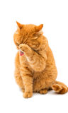 Beautiful red cat Royalty Free Stock Image