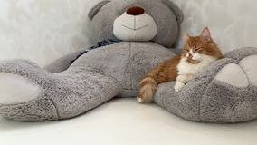 Ginger cat and big teddy bear.