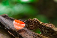 Beautiful red champagne mushroom growing on decayed tree Stock Image