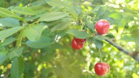 Beautiful red cherry berries and green leaves. Blinking bokeh from the wind blows. Beautiful sunny day in the forest.  stock footage