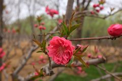 Beautiful Red Cherry Blossom Flowers in spring stock photo