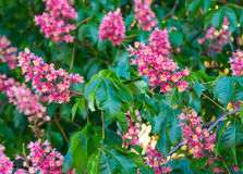 Beautiful red chestnut tree flowers blossom close up. Beautiful red chestnut tree flowers blossom in green leavesclose up Royalty Free Stock Photo