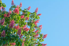 Beautiful red chestnut tree flowers blossom close up over blue sky. Background Stock Photography