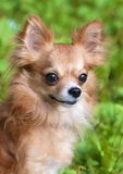 Beautiful red chihuahua dog portrait Stock Photography