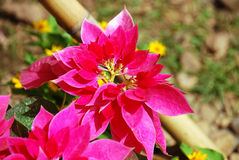 Beautiful red christmas flower or poinsettia Stock Photos