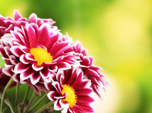Beautiful red chrysanthemum Stock Photos