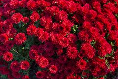 Beautiful red chrysanthemum. As background picture Stock Photography