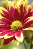 Beautiful red chrysanthemum close up shot Stock Image
