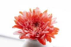 Beautiful red chrysanthemum flower close-up over the bottle on w royalty free stock photography