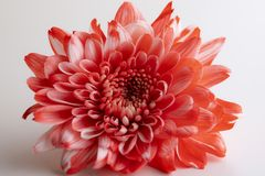 Beautiful red chrysanthemum flower close-up on white background. On the white table stock image