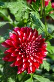 Beautiful red chrysanthemum flower Royalty Free Stock Images