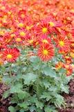 Beautiful red chrysanthemum Royalty Free Stock Photos