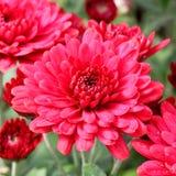 Beautiful red chrysanthemum Royalty Free Stock Image