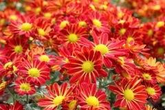 Beautiful red chrysanthemum Royalty Free Stock Photo