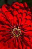 The beautiful red chrysanthemums. The flower bud in the garden features Royalty Free Stock Photos