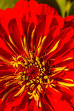 The beautiful red chrysanthemums. The flower bud in the garden features Stock Image