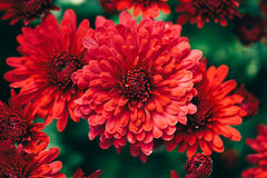 Beautiful Red Chrysanthemums royalty free stock images