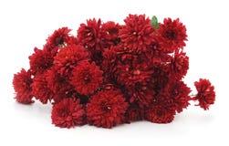 Beautiful red chrysanthemums. Royalty Free Stock Photo