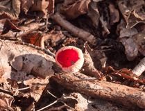 beautiful red close up growing mushroom cap forest floor februar Royalty Free Stock Photography