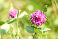 Beautiful red clover on a natural background Stock Images