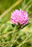 Beautiful red clover on a natural background Royalty Free Stock Photo