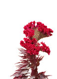 Beautiful red Cockscomb flower isolated on white Royalty Free Stock Image