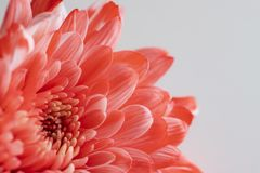 Beautiful red chrysanthemum flower close-up on white background. Beautiful red color chrysanthemum flower close-up on white background stock photography