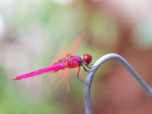 Beautiful red color dragonfly Stock Photo
