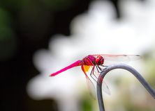 Beautiful red color dragonfly Stock Photography