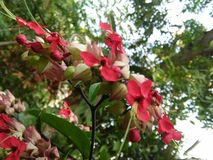 Beautiful red color flower of sri lankan royalty free stock image