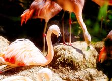 Beautiful red colored bird - Phoenicopterus ruber. Red flamingo. Royalty Free Stock Image