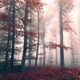 Beautiful red colored foggy dreamy forest Stock Photos
