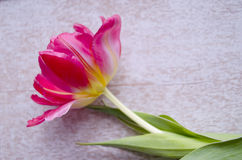 beautiful red colored tulip flower with place for text. Close up. Royalty Free Stock Photo